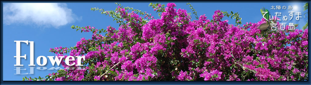 宮古島の花々