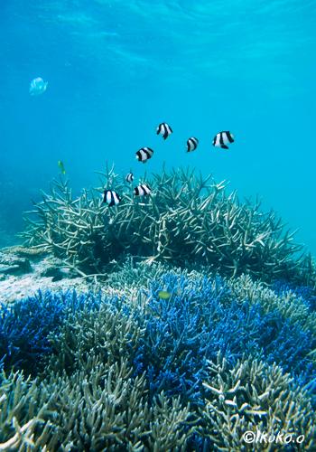 エダサンゴと熱帯魚