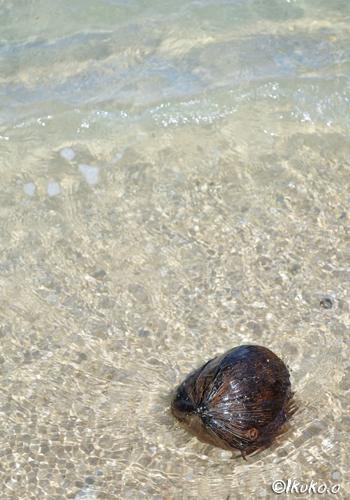 波に漂うヤシの実
