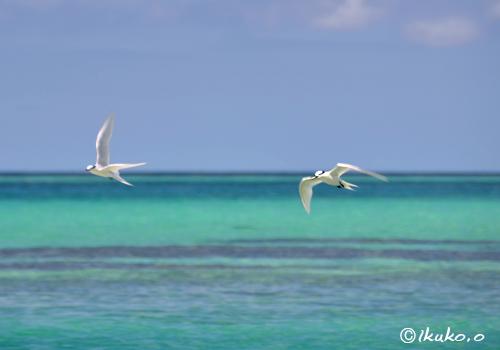アジサシと青い海