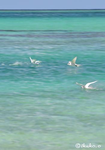 水面のアジサシ
