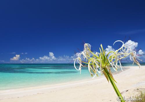 ビーチに咲くハマユウ