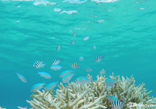 枝サンゴに群れる魚たち