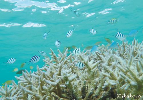 オヤビッチャと枝サンゴ