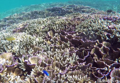 キャベツサンゴと枝サンゴ