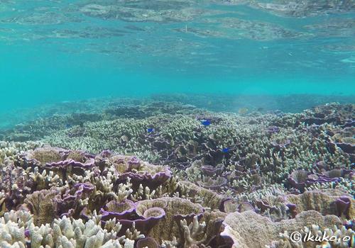 サンゴの群落