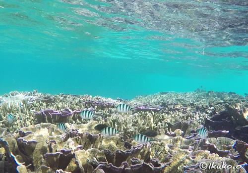サンゴの中を泳ぐオヤビッチャ