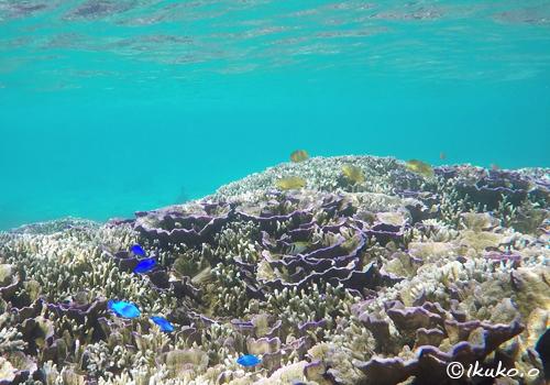 サンゴの群落と色鮮やかな魚たち