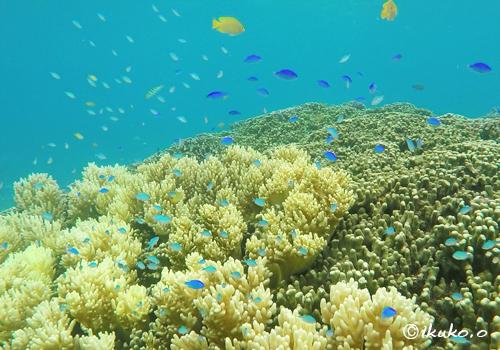 サンゴとスズメダイの楽園