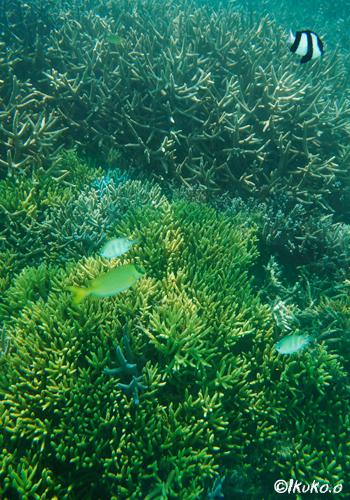 黄色いエダサンゴ