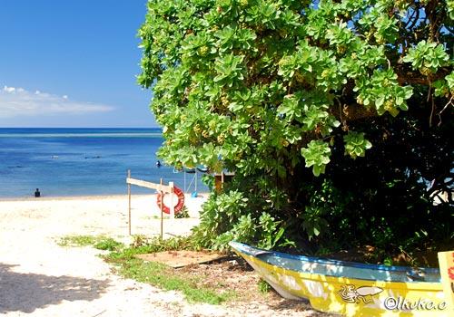 新城海岸のモンパの木