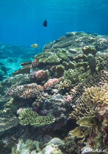 白鳥湾のサンゴ