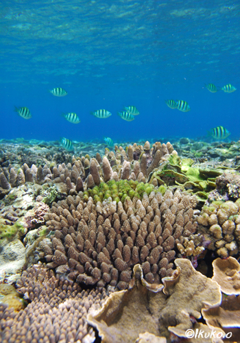 サンゴとオヤビッチャ