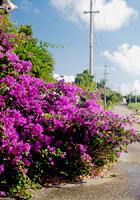 ブーゲンビレアの咲く風景