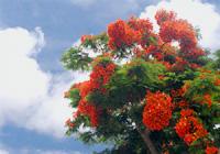 真夏の花・鳳凰木