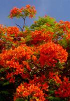 青空に映える赤い花