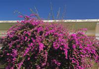 エネルギッシュに咲くブーゲンビレア