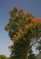 火焔木(カエンボク)の大木