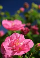 八重咲きの芙蓉