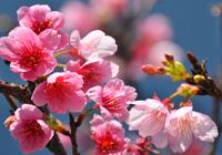 緋寒桜(ヒカンザクラ)の花
