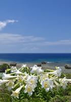 百合と青い海
