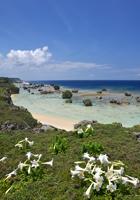 百合の咲く岬