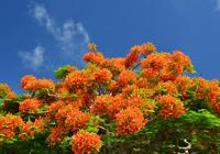 夏を彩る花・鳳凰木
