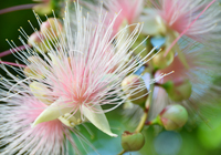 朝日を浴びるサガリ花