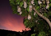 サガリ花:幻想の風景