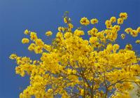 華麗に咲き誇るイッペーの花