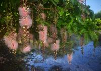サガリバナ-青とピンクの幻想