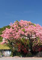 トックリキワタ(徳利木綿)の大木