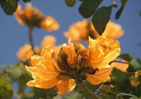 火焔木(カエンボク)の花