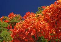 満開の鳳凰木(ホウオウボク)