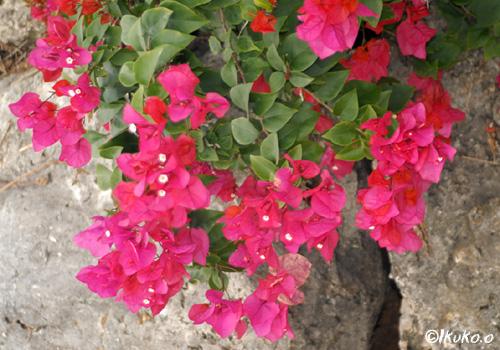 石垣に咲くブーゲンビリア