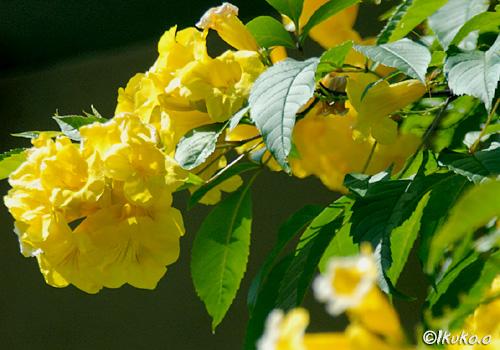 キンレイジュの花