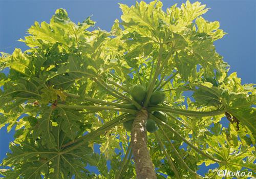 青空に枝を広げるパパイヤの木