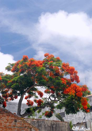 鳳凰木と入道雲