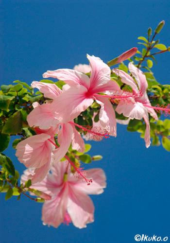 ピンクのハイビスカスと青空