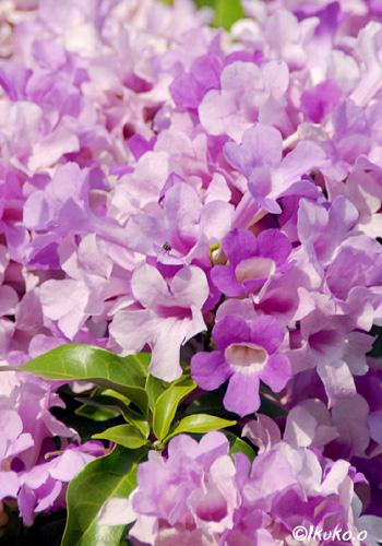 ラベンダー色の花束
