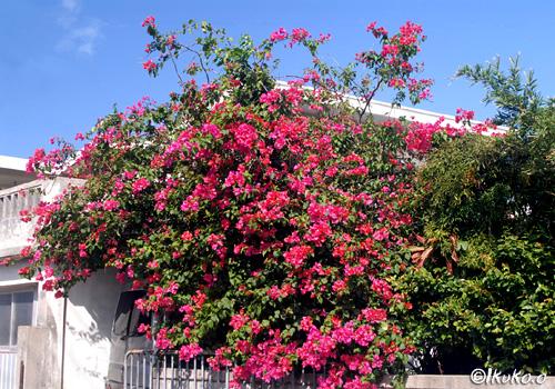 ブーゲンビレアの咲く家