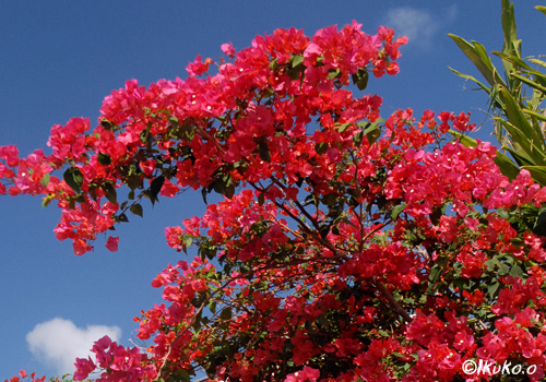 青空とブーゲンビレアの花