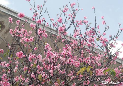 梅のような桜
