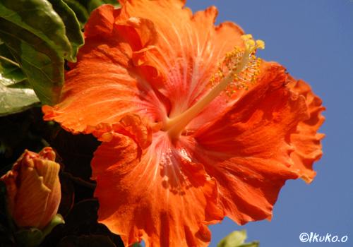 オレンジのハイビスカス