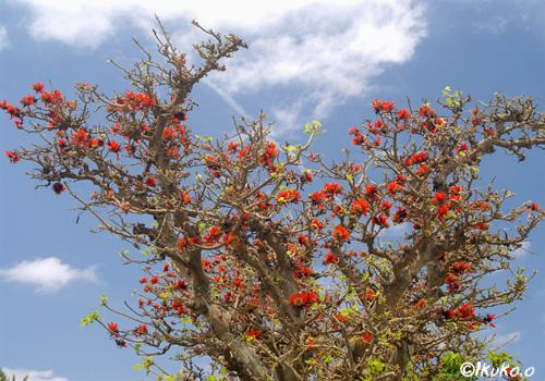来間島のデイゴの大木