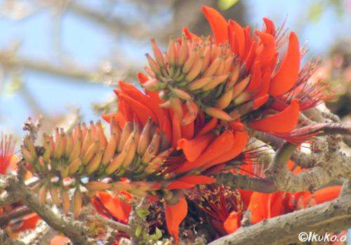でいごの花