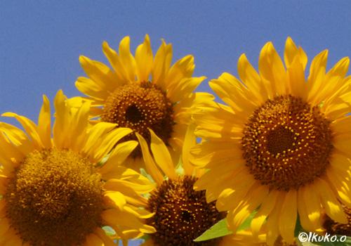 ひまわりの花たち