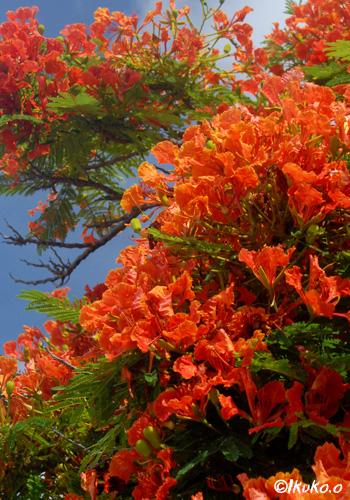 ホウオウボクの赤い花
