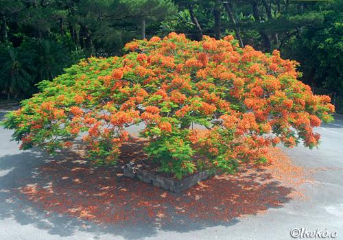 熱帯植物園前の鳳凰木
