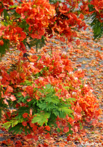 鳳凰木の花